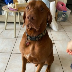 Conclusion For The Best Vizsla Breeders in California