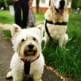 Conclusion For The Best Westie Breeders in the United States