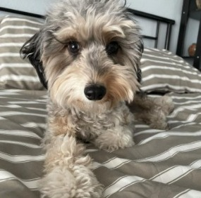 Conclusion For Toy Aussiedoodles For Sale