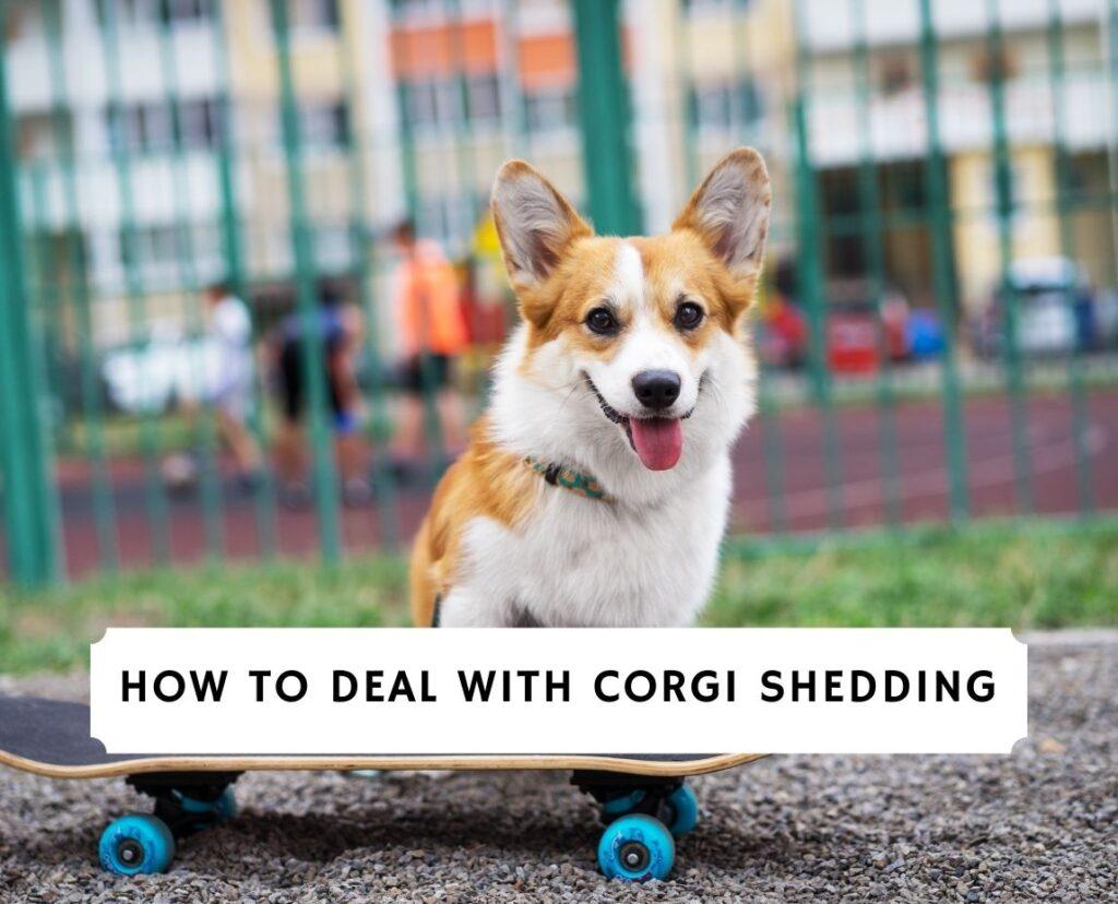 Corgi Shedding