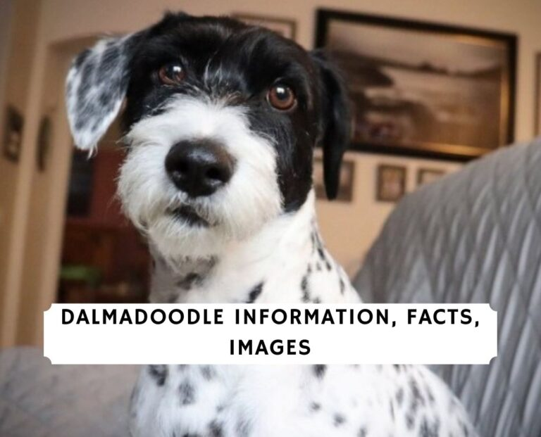 Dalmadoodle