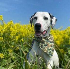 Dalmatian Puppies For Sale in the United States