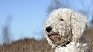 Diet Requirements of the Standard Goldendoodle