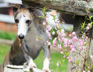 Disa Whippets
