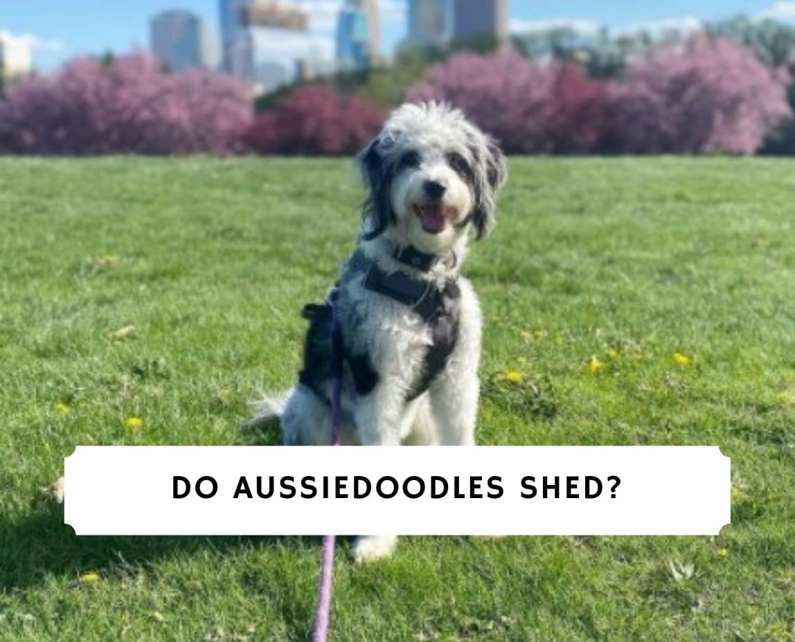 Do Aussiedoodles Shed
