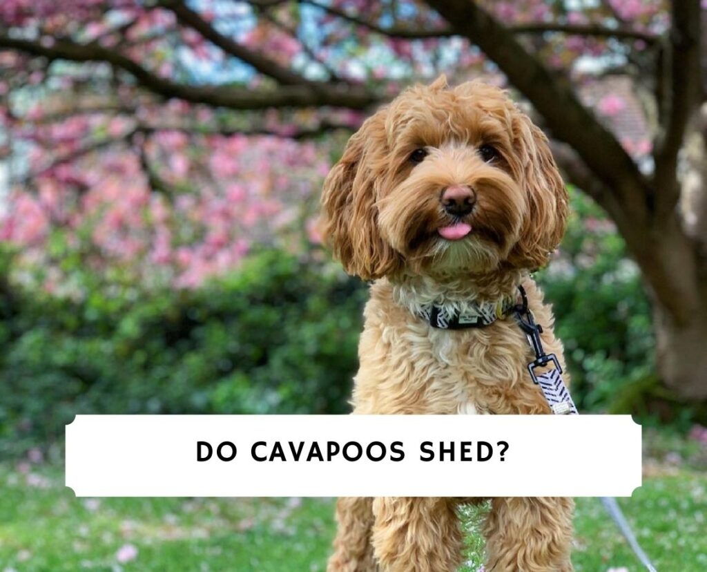 Do Cavapoos Shed