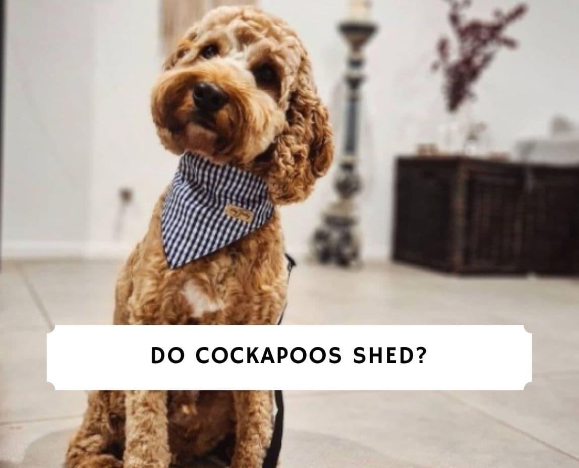 Do Cockapoos Shed