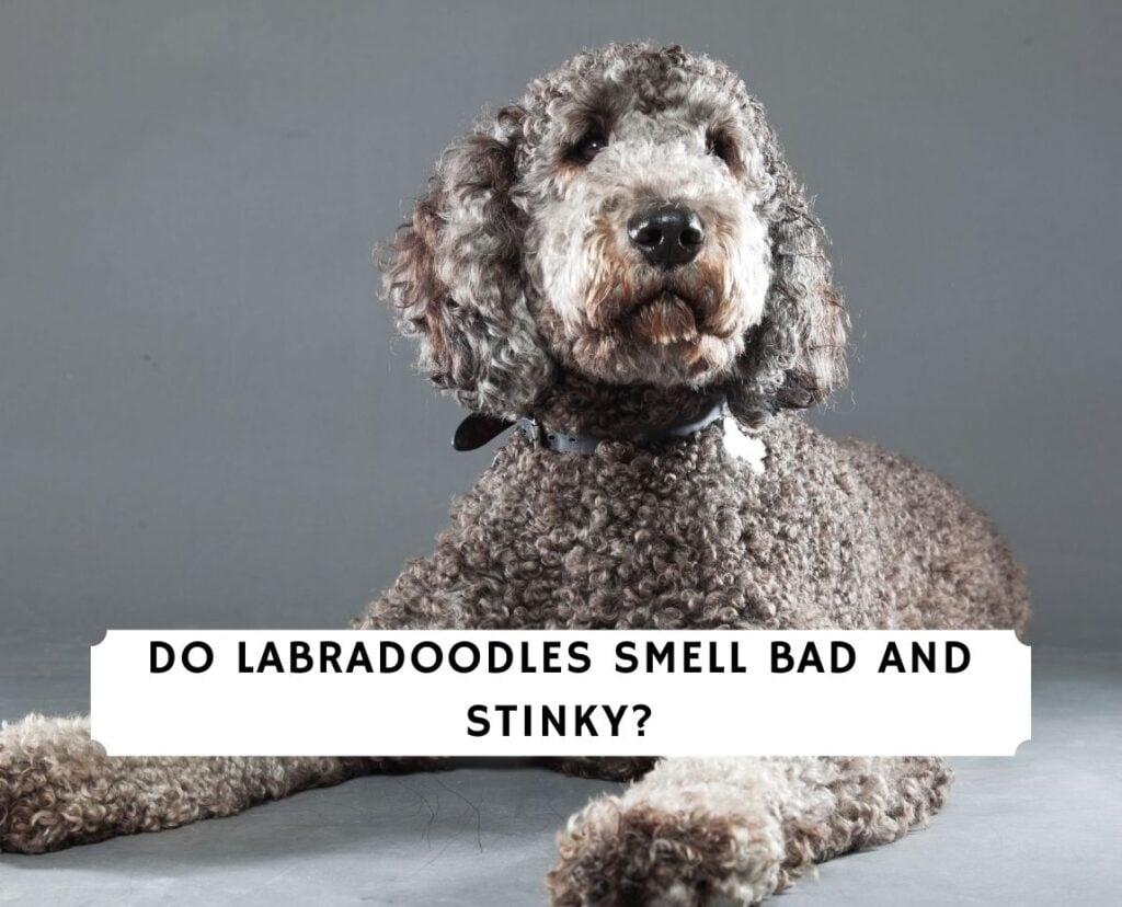 Do Labradoodles Smell