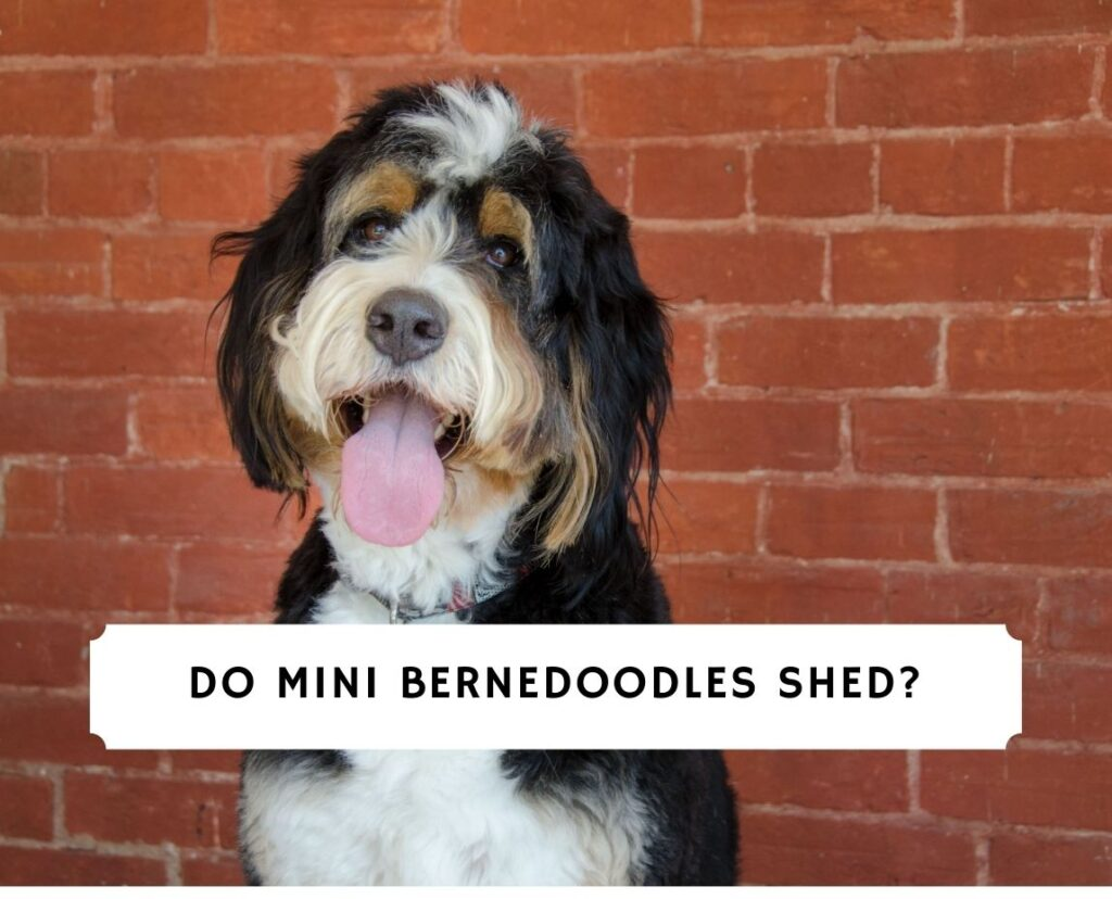 Do Mini Bernedoodles Shed