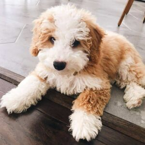 Conclusion For Do Mini Bernedoodles Shed