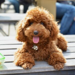 Conclusion For Toy Labradoodle Puppies For Sale