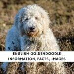 English Goldendoodle