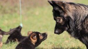 Establishing Hierarchy puppy