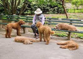 Exercising Your Standard Goldendoodle