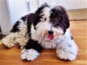 First, What is a Sheepadoodle