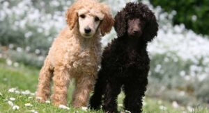 Genetic Combinations for Silver Poodles