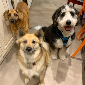 Genetic Health Issues for a Bernedoodle