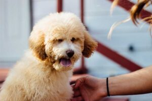 Genetic Health Issues for a Poodle