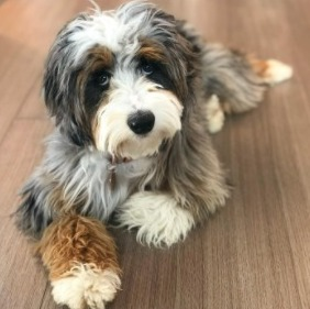 Get Your Aussiedoodle Trimmed Professionally