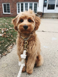 Giving your Goldendoodle a Haircut
