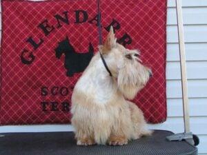 Glendarra Scottish Terrier