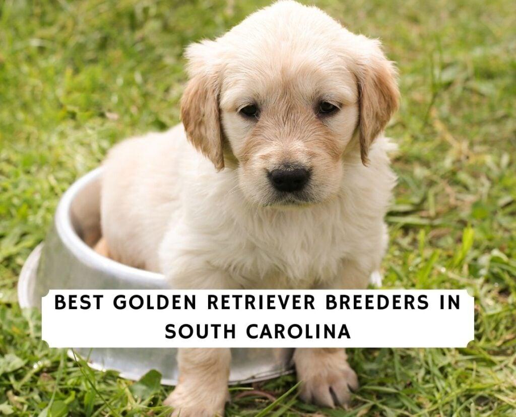Golden Retriever Breeders in South Carolina