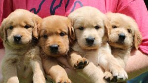 Conclusion For The Best Golden Retriever Breeders in South Carolina
