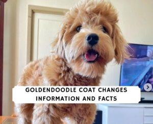 Goldendoodle Coat Changes