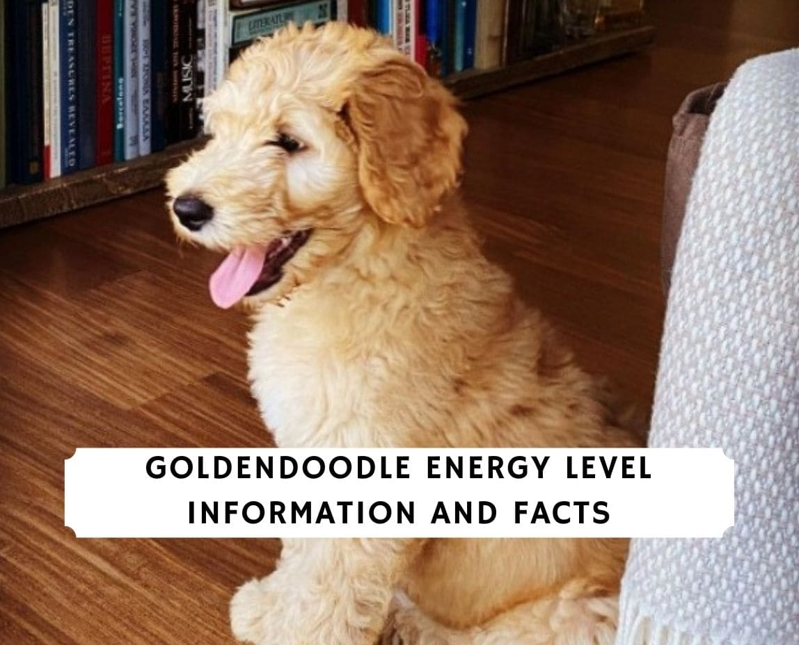 Goldendoodle Energy Level