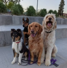 Goldendoodle Illness or Disease