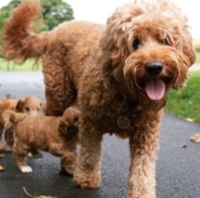 Goldendoodle Likable Personality