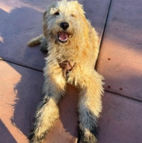 Goldendoodle Overall Health