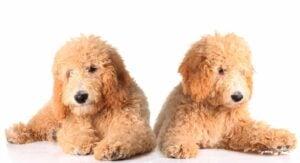 Goldendoodle Sizes