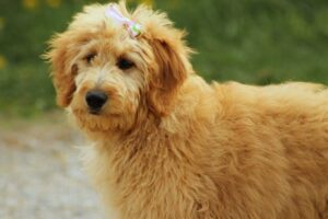 Goldendoodles are the Ultimate Companion Dog