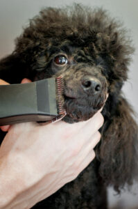 Grooming Practices with a Corded Poodle