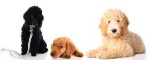 History of the Goldendoodle
