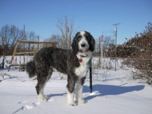 How Can I Make Sure My Aussiedoodle Has a Curly Coat