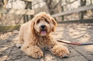 How Do Breeders Achieve the Brown Labradoodle Coat Color