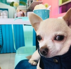 How Do I Tell If My Chihuahua Is Happy