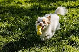 Conclusion For How Fast Can a Chihuahua Run