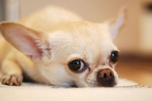 How Often Does a Chihuahua Go Into Heat