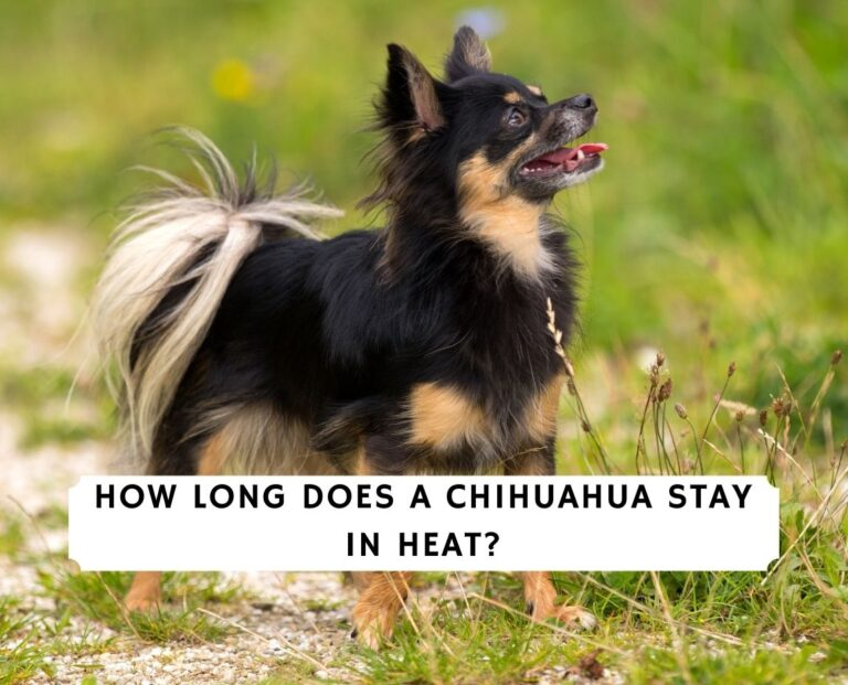 How Long Does a Chihuahua Stay in Heat
