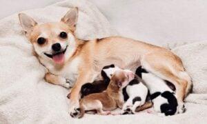 Chihuahua Pregnancy Time Length