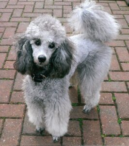 How Much Do Silver Poodles Cost