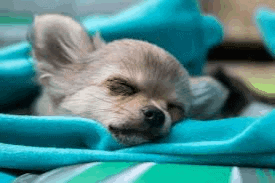 How Much Sleep Does a Chihuahua Need