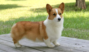 How to Care for Your Growing Corgi