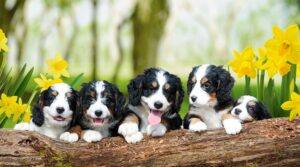 How to Prevent Health Issues in Your Bernedoodle