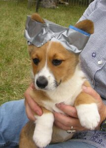 How to Tape Your Corgi's Ears Upright