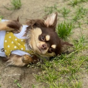 Is It Important For a Chihuahua to Have Upright Ears
