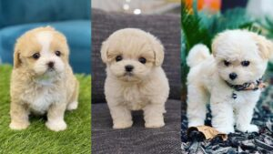 Is a Teacup Maltipoo the Right Dog for Your Family?